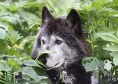 wolf-2096652_1920